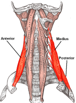 your scalene muscles